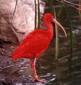 Scarlet Ibis - Copyright 1998 - Ron Wulff Jr.